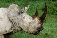 Head of a White Rhinoceros, Lake Nakuru National Park, Kenya by Adam Jones - various sizes