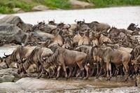 Wildebeest herd wildlife, Serengeti NP, Tanzania by Adam Jones - various sizes, FulcrumGallery.com brand