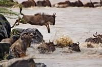 Wildebeest jumping into Mara River, Masai Mara Game Reserve, Kenya by Adam Jones - various sizes - $41.49