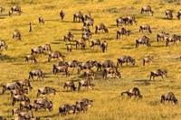 Wildebeest Migration, Masai Mara Game Reserve, Kenya Fine Art Print