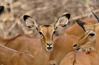 Wildlife, Female Impala, Samburu Game Reserve, Kenya Fine Art Print