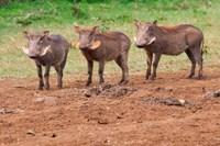Warthog, Aberdare National Park, Kenya Fine Art Print