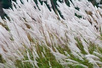 Wild dogtail grasses swaying in wind, Bhutan by Keren Su - various sizes