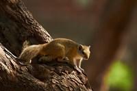 Tree squirrel, Okavango Delta, Botswana, Africa by David Wall - various sizes, FulcrumGallery.com brand