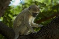 Vervet monkey, Victoria Falls, Zimbabwe, Africa by David Wall - various sizes