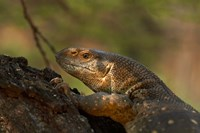 White-throated monitor, Kruger NP, South Africa by David Wall - various sizes