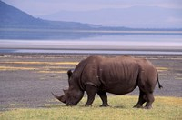 White Rhinoceros, Lake Nakuru National Park, Kenya Fine Art Print