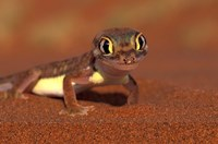 Web-footed Gecko, Namib National Park, Namibia Fine Art Print