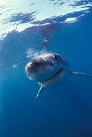 Underwater View of a Great White Shark, South Africa Fine Art Print