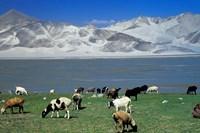 View of Grazing Sheep, Karakuli Lake and Mt Kunlun, Silk Road, China by Keren Su - various sizes
