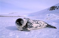 Weddell Seal, Kloa 'EP' Rookery, Australian Antarctic Territory, Antarctica by Pete Oxford - various sizes