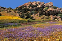 Wildflowers Flourish, Namaqualand, Northern Cape Province, South Africa by Charles Crust - various sizes