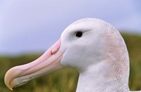 Wandering Albatross bird, Iceberg, Island of South Georgia by Martin Zwick - various sizes