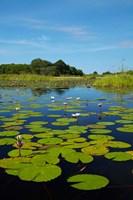 Water lilies, Okavango Delta, Botswana, Africa by David Wall - various sizes