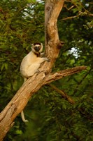 Verreaux's sifaka primate, Berenty Reserve, MADAGASCAR by Pete Oxford - various sizes - $45.99