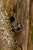 White-footed sportive lemur, Berenty Reserve, MADAGASCAR by Pete Oxford - various sizes
