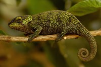 True Chameleon, Lizard, Madagascar, Africa by Pete Oxford - various sizes, FulcrumGallery.com brand
