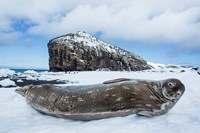 Weddell Seal resting on Deception Island, Antarctica by Paul Souders - various sizes
