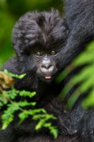 Umubano Group Of Mountain Gorillas, Volcanoes National Park, Rwanda by Ralph H. Bendjebar - various sizes