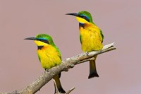 Two little bee-eater birds on limb, Kenya by Jaynes Gallery - various sizes - $50.99