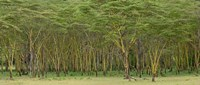 Yellow Fever Tree, Lake Nakuru National Park, Kenya by Adam Jones - various sizes, FulcrumGallery.com brand
