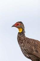 Yellow-necked Spurfowl, Lewa, Kenya by Martin Zwick - various sizes