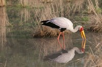 Yellow-Billed Stork, Kwara, Botswana Fine Art Print