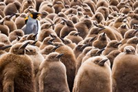 Young King Penguin Chicks in Brown Coats, South Georgia Island, Antarctica by Jaynes Gallery - various sizes, FulcrumGallery.com brand