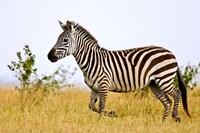 Zebras Herding in The Fields, Maasai Mara, Kenya by Joe Restuccia III - various sizes, FulcrumGallery.com brand