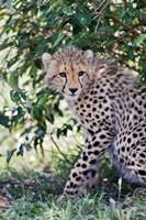 Young cheetah resting beneath bush, Maasai Mara, Kenya by Adam Jones - various sizes, FulcrumGallery.com brand