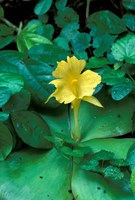 Yellow Flower in Bloom, Gombe National Park, Tanzania Fine Art Print