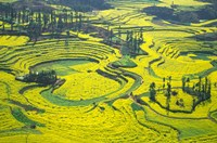 Yellow Rape Flowers Cover Qianqiou Terraces, China Fine Art Print
