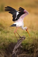 Yellow-Billed Stork Readying for Flight, Maasai Mara, Kenya Fine Art Print