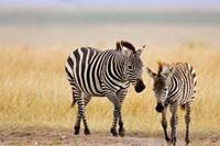 Zebra and Juvenile Zebra on the Maasai Mara, Kenya Fine Art Print