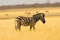 Zebra in Golden Grass at Namutoni Resort, Namibia Fine Art Print