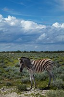 Young Burchells zebra, burchellii, Etosha NP, Namibia, Africa. Fine Art Print