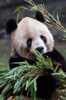 Asia, China Chongqing. Giant Panda bear, Chongqing Zoo. Fine Art Print