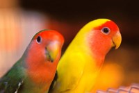 Love Birds, Yuen Po Street Bird Market, Hong Kong, China by Stuart Westmorland - various sizes