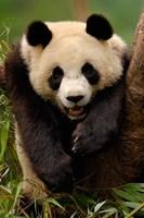 Giant panda bear by Pete Oxford - various sizes