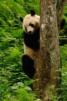 Giant panda bear Climbing a Tree by Pete Oxford - various sizes