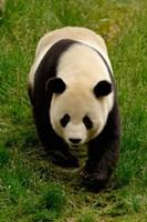 Giant Panda Walking by Pete Oxford - various sizes