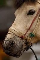 Tibetan Horse, China by Pete Oxford - various sizes - $45.99