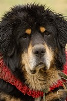 Tibetan Mastiff Dog at the Horse Racing Festival, Zhongdian, Deqin Tibetan Autonomous Prefecture, Yunnan Province, China by Pete Oxford - various sizes, FulcrumGallery.com brand