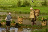 Bai Minority Carrying Rice Plants in Baskets, Jianchuan County, Yunnan Province, China by Pete Oxford - various sizes