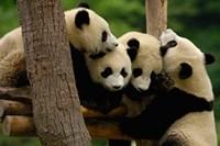 Four Giant panda bears by Pete Oxford - various sizes