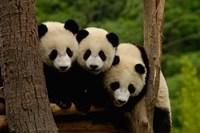 Three Giant panda bears by Pete Oxford - various sizes