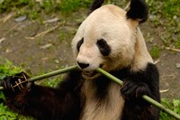 Giant Panda Eating Bamboo by Pete Oxford - various sizes