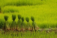 Rice Field, China by Pete Oxford - various sizes