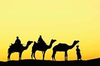 Camels and driver at sunset, Thar Desert, Jodhpur, India by Adam Jones - various sizes