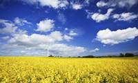 Wind turbine in a canola field against cloudy sky, Denmark Fine Art Print